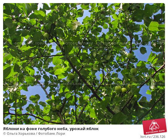 Яблони на фоне голубого неба, урожай яблок, фото № 236126, снято 29 июля 2007 г. (c) Ольга Хорькова / Фотобанк Лори