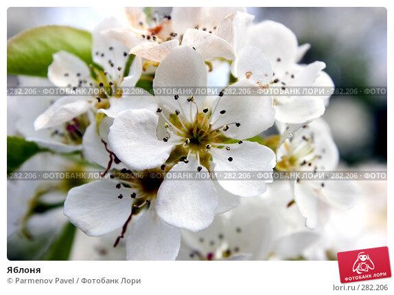 Яблоня, фото № 282206, снято 10 мая 2008 г. (c) Parmenov Pavel / Фотобанк Лори