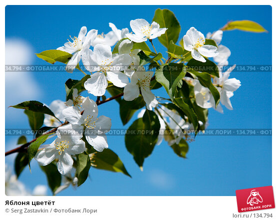 Яблоня цветёт, фото № 134794, снято 5 июня 2006 г. (c) Serg Zastavkin / Фотобанк Лори