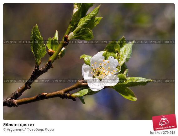 Яблоня цветет, фото № 279918, снято 30 апреля 2008 г. (c) Argument / Фотобанк Лори
