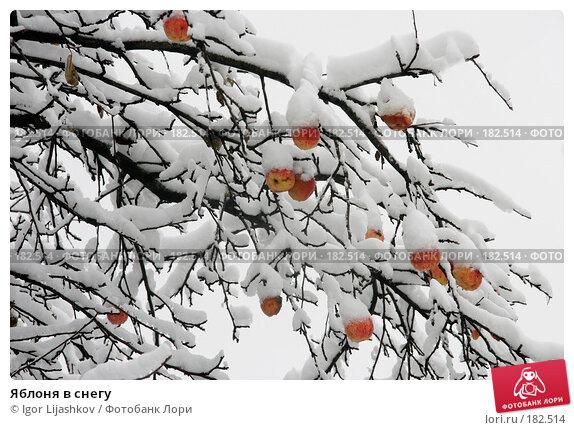 Яблоня в снегу, фото № 182514, снято 11 ноября 2006 г. (c) Igor Lijashkov / Фотобанк Лори