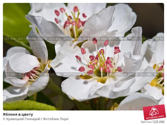 Купить «Яблоня в цвету», фото № 225086, снято 1 мая 2005 г. (c) Кравецкий Геннадий / Фотобанк Лори