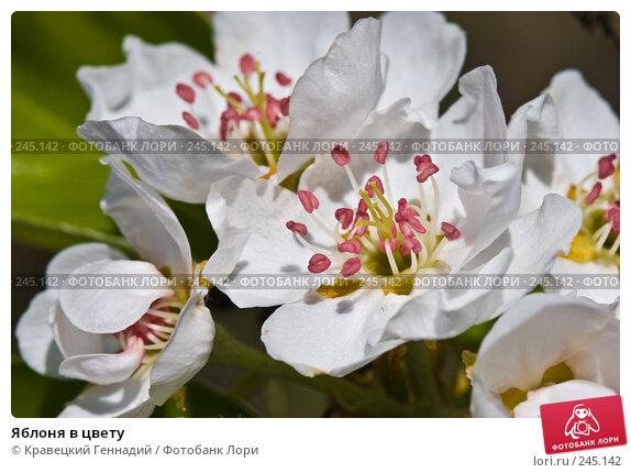 Яблоня в цвету, фото № 245142, снято 1 мая 2005 г. (c) Кравецкий Геннадий / Фотобанк Лори