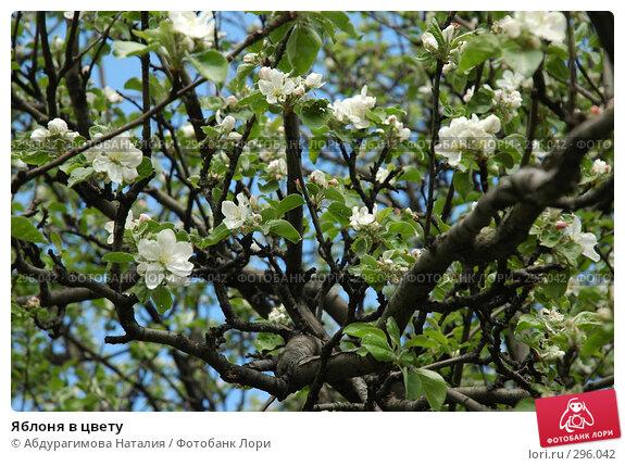 Купить «Яблоня в цвету», фото № 296042, снято 10 мая 2008 г. (c) Абдурагимова Наталия / Фотобанк Лори