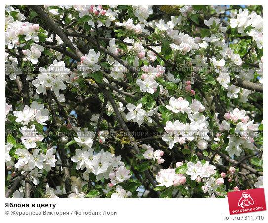 Купить «Яблоня в цвету», фото № 311710, снято 22 ноября 2007 г. (c) Журавлева Виктория / Фотобанк Лори