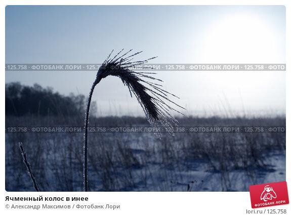 Ячменный колос в инее, фото № 125758, снято 12 февраля 2007 г. (c) Александр Максимов / Фотобанк Лори