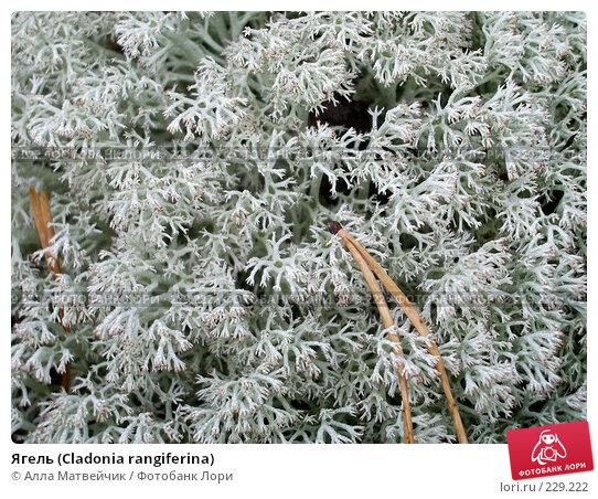 Ягель (Cladonia rangiferina), фото № 229222, снято 2 октября 2005 г. (c) Алла Матвейчик / Фотобанк Лори