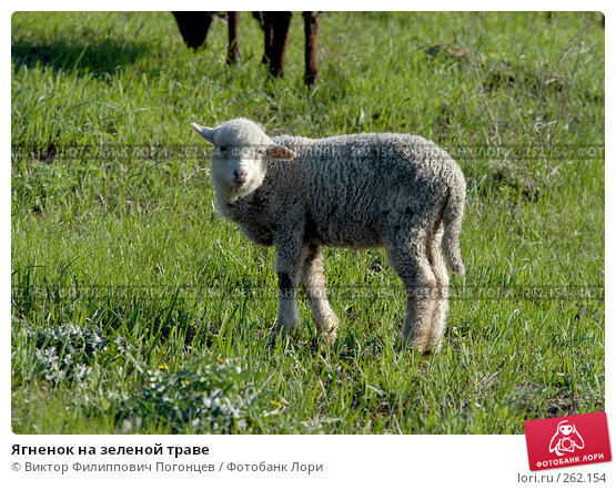 Ягненок на зеленой траве, фото № 262154, снято 27 апреля 2005 г. (c) Виктор Филиппович Погонцев / Фотобанк Лори