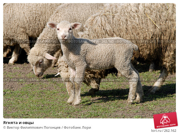 Ягнята и овцы, фото № 262162, снято 6 апреля 2006 г. (c) Виктор Филиппович Погонцев / Фотобанк Лори