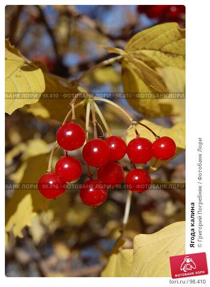 Купить «Ягода калина», фото № 98410, снято 13 октября 2007 г. (c) Григорий Погребняк / Фотобанк Лори