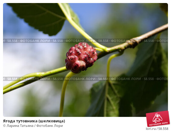 Ягода тутовника (шелковица), фото № 58558, снято 26 июня 2007 г. (c) Ларина Татьяна / Фотобанк Лори
