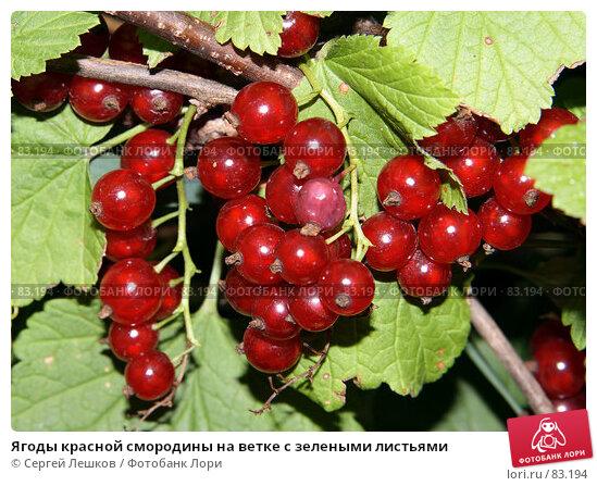 Ягоды красной смородины на ветке с зелеными листьями, фото № 83194, снято 22 июля 2007 г. (c) Сергей Лешков / Фотобанк Лори