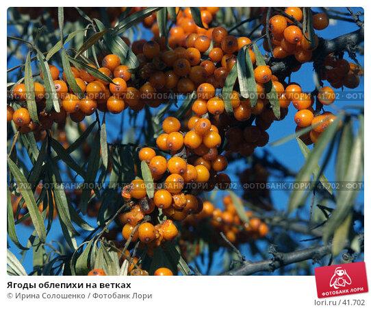 Купить «Ягоды облепихи на ветках», фото № 41702, снято 8 октября 2006 г. (c) Ирина Солошенко / Фотобанк Лори