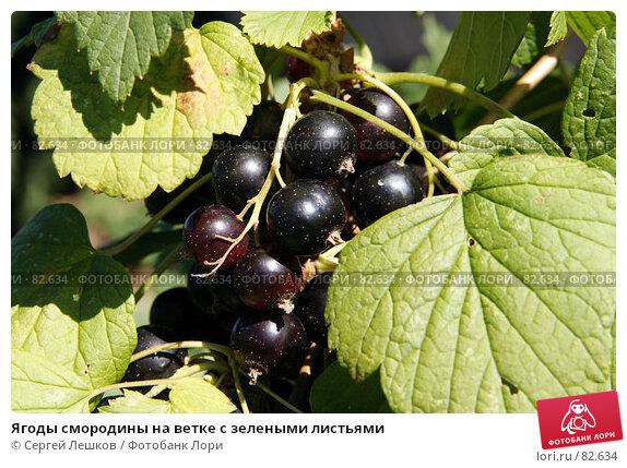 Купить «Ягоды смородины на ветке с зелеными листьями», фото № 82634, снято 28 июля 2007 г. (c) Сергей Лешков / Фотобанк Лори