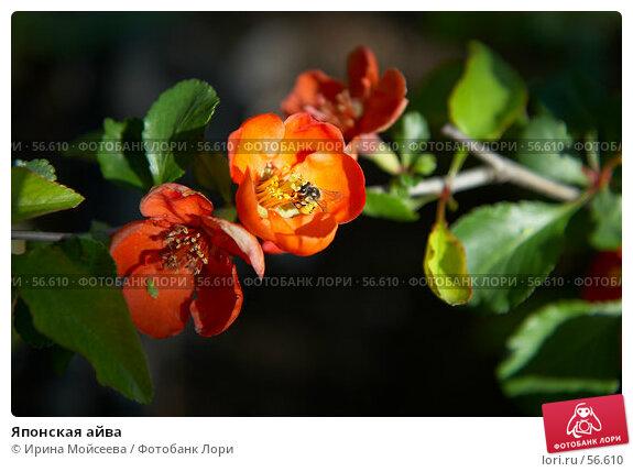 Купить «Японская айва», эксклюзивное фото № 56610, снято 12 мая 2007 г. (c) Ирина Мойсеева / Фотобанк Лори