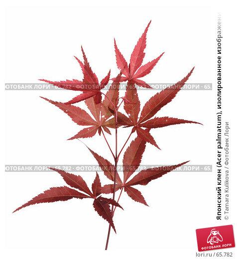 Японский клен (Acer palmatum), изолированное изображение, фото № 65782, снято 27 июля 2007 г. (c) Tamara Kulikova / Фотобанк Лори