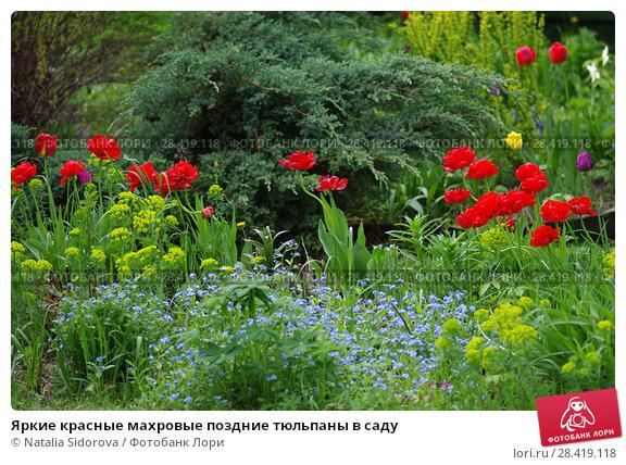 Купить «Яркие красные махровые поздние тюльпаны в саду», фото № 28419118, снято 12 мая 2018 г. (c) Natalya Sidorova / Фотобанк Лори