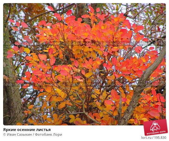 Купить «Яркие осенние листья», фото № 195830, снято 13 ноября 2004 г. (c) Иван Сазыкин / Фотобанк Лори