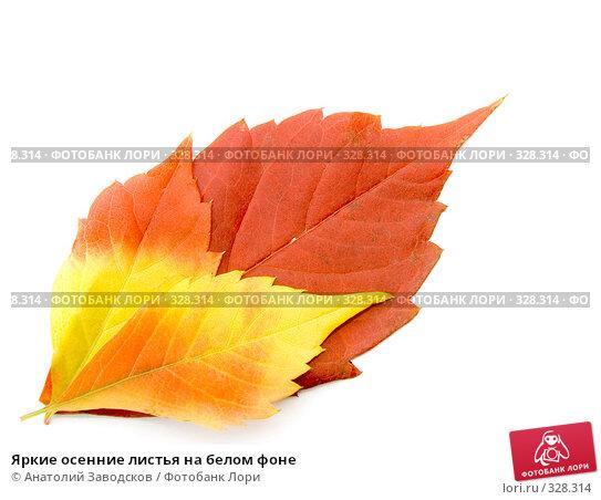 Яркие осенние листья на белом фоне, фото № 328314, снято 1 октября 2006 г. (c) Анатолий Заводсков / Фотобанк Лори