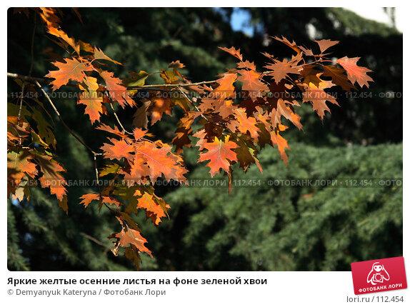 Купить «Яркие желтые осенние листья на фоне зеленой хвои», фото № 112454, снято 8 ноября 2007 г. (c) Demyanyuk Kateryna / Фотобанк Лори