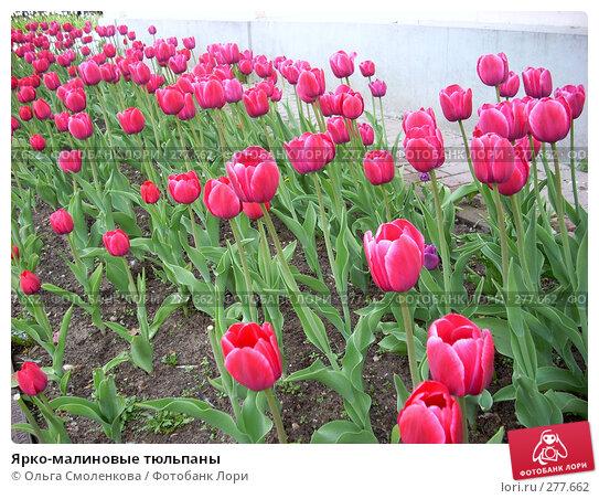 Ярко-малиновые тюльпаны, фото № 277662, снято 5 мая 2008 г. (c) Ольга Смоленкова / Фотобанк Лори