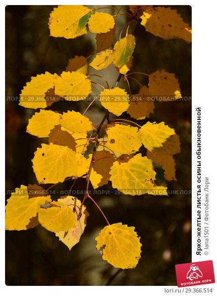 Купить «Ярко-желтые листья осины обыкновенной», эксклюзивное фото № 29366514, снято 17 октября 2018 г. (c) lana1501 / Фотобанк Лори