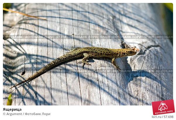 Ящерица, фото № 57698, снято 11 августа 2006 г. (c) Argument / Фотобанк Лори