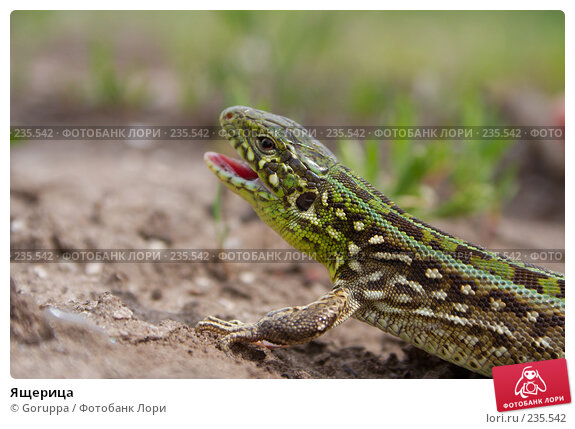 Ящерица, фото № 235542, снято 6 мая 2007 г. (c) Goruppa / Фотобанк Лори