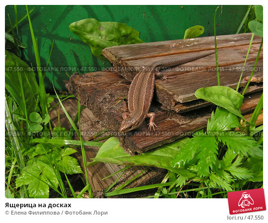 Ящерица на досках, фото № 47550, снято 3 сентября 2006 г. (c) Елена Филиппова / Фотобанк Лори
