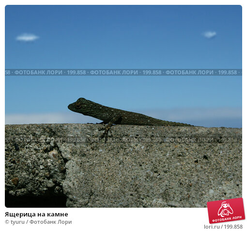 Купить «Ящерица на камне», фото № 199858, снято 22 января 2007 г. (c) tyuru / Фотобанк Лори