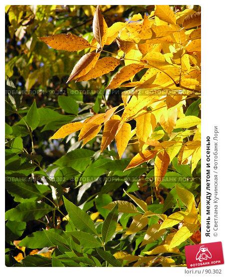 Купить «Ясень между летом и осенью», фото № 90302, снято 23 ноября 2017 г. (c) Светлана Кучинская / Фотобанк Лори
