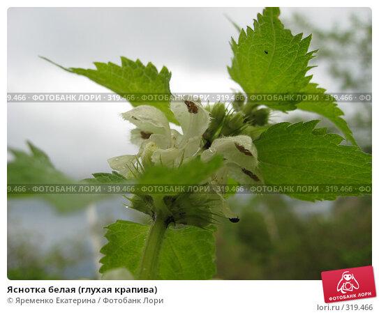 Яснотка белая (глухая крапива), фото № 319466, снято 20 мая 2008 г. (c) Яременко Екатерина / Фотобанк Лори