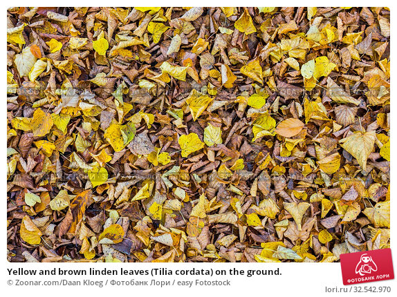 Купить «Yellow and brown linden leaves (Tilia cordata) on the ground.», фото № 32542970, снято 9 декабря 2019 г. (c) easy Fotostock / Фотобанк Лори