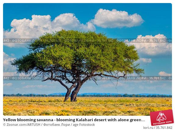 Yellow blooming savanna - blooming Kalahari desert with alone green... Стоковое фото, фотограф Zoonar.com/ARTUSH / age Fotostock / Фотобанк Лори