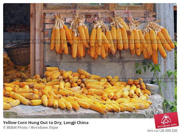 Купить «Yellow Corn Hung Out to Dry, Longji China», фото № 28309326, снято 20 апреля 2018 г. (c) BE&W Photo / Фотобанк Лори