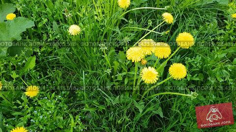 Купить «Yellow dandelions in spring on glade», видеоролик № 28433518, снято 16 мая 2018 г. (c) Володина Ольга / Фотобанк Лори