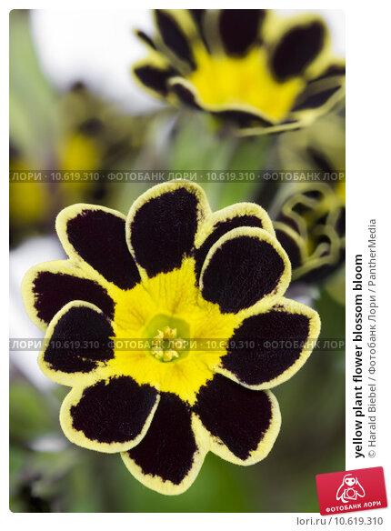 yellow plant flower blossom bloom. Стоковое фото, фотограф Harald Biebel / PantherMedia / Фотобанк Лори