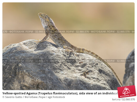 Yellow-spotted Agama (Trapelus flavimaculatus), sida view of an individual standing on a rock, Dhofar, Oman. Стоковое фото, фотограф Saverio Gatto / age Fotostock / Фотобанк Лори