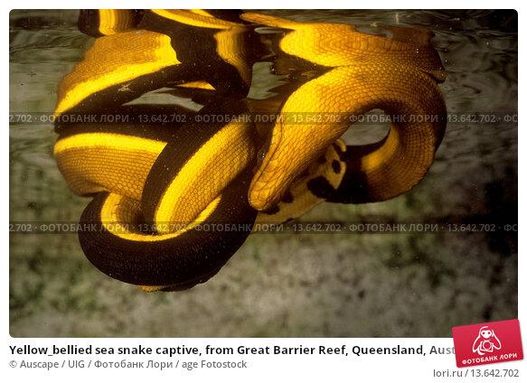 Купить «Yellow_bellied sea snake captive, from Great Barrier Reef, Queensland, Australia», фото № 13642702, снято 25 апреля 2019 г. (c) age Fotostock / Фотобанк Лори