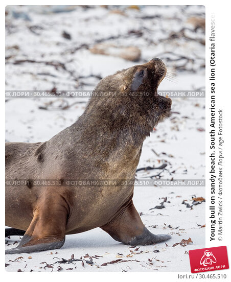 Young bull on sandy beach. South American sea lion (Otaria flavescens, formerly Otaria byronia), also called the Southern Sea Lion or Patagonian sea lion. South America, Falkland Islands. Стоковое фото, фотограф Martin Zwick / age Fotostock / Фотобанк Лори