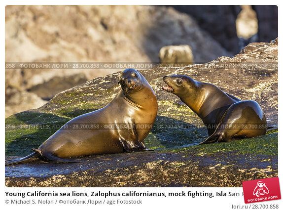 Купить «Young California sea lions, Zalophus californianus, mock fighting, Isla San Pedro Martir, Baja California, Mexico.», фото № 28700858, снято 8 апреля 2016 г. (c) age Fotostock / Фотобанк Лори