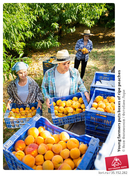 Young farmers puts boxes of ripe peaches. Стоковое фото, фотограф Яков Филимонов / Фотобанк Лори