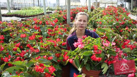 Купить «Young female florist arranging potted plants of flowering red begonias while gardening in glasshouse», видеоролик № 31699054, снято 3 июня 2019 г. (c) Яков Филимонов / Фотобанк Лори