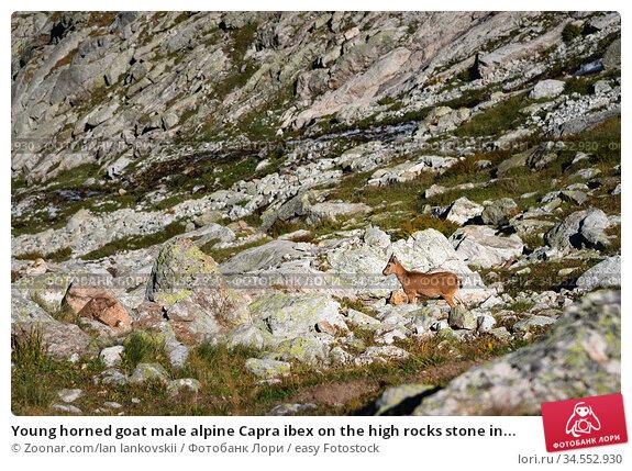 Young horned goat male alpine Capra ibex on the high rocks stone in... Стоковое фото, фотограф Zoonar.com/Ian Iankovskii / easy Fotostock / Фотобанк Лори