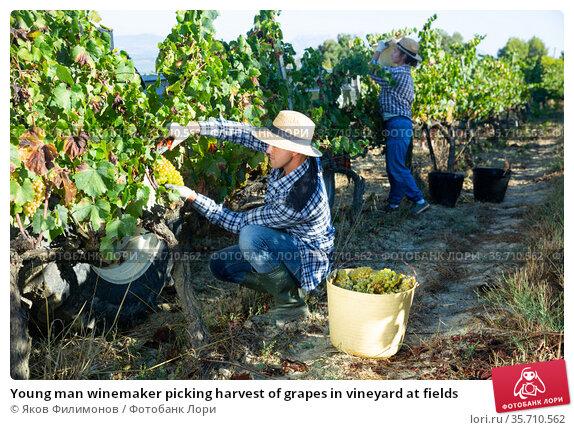 Young man winemaker picking harvest of grapes in vineyard at fields. Стоковое фото, фотограф Яков Филимонов / Фотобанк Лори