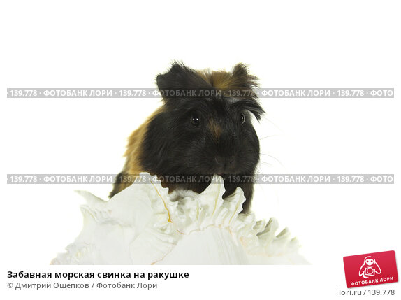 Забавная морская свинка на ракушке, фото № 139778, снято 13 января 2007 г. (c) Дмитрий Ощепков / Фотобанк Лори