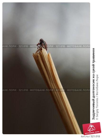 Задумчивый долгоносик на сухой травинке, фото № 321018, снято 13 апреля 2008 г. (c) Sergey Toronto / Фотобанк Лори