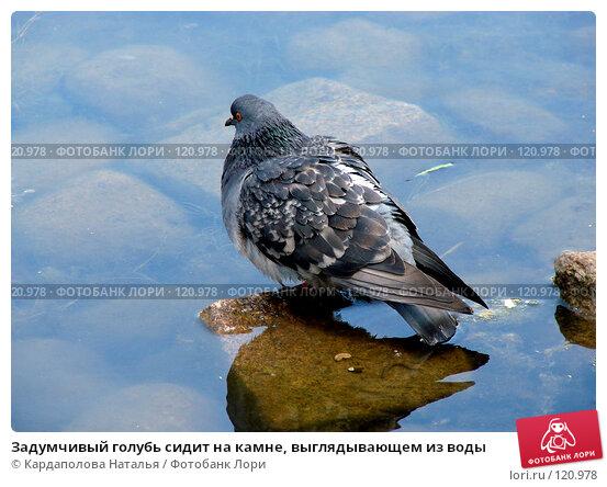 Задумчивый голубь сидит на камне, выглядывающем из воды, фото № 120978, снято 7 июня 2007 г. (c) Кардаполова Наталья / Фотобанк Лори