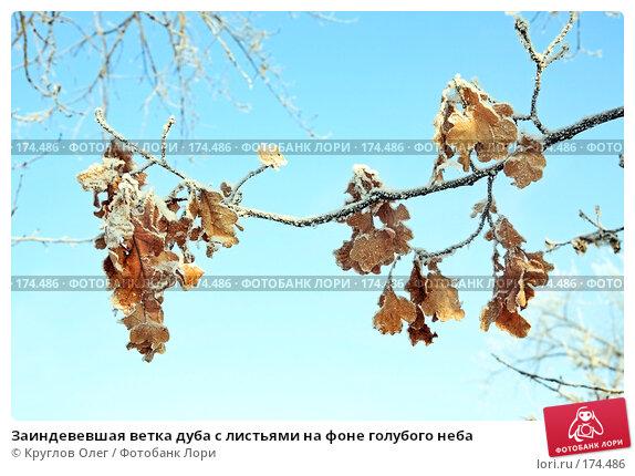 Заиндевевшая ветка дуба с листьями на фоне голубого неба, фото № 174486, снято 12 января 2008 г. (c) Круглов Олег / Фотобанк Лори