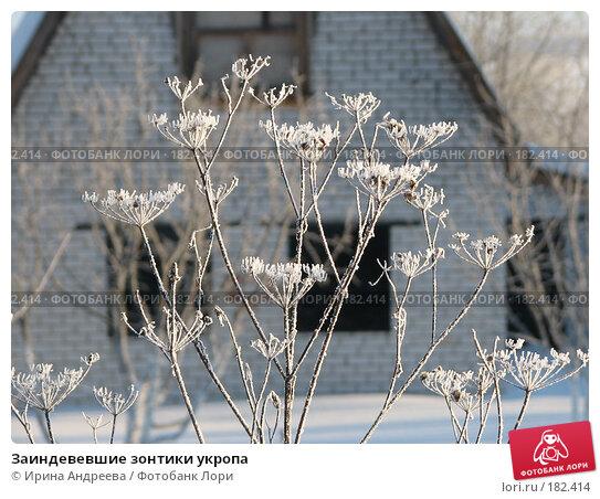 Заиндевевшие зонтики укропа, фото № 182414, снято 20 января 2008 г. (c) Ирина Андреева / Фотобанк Лори